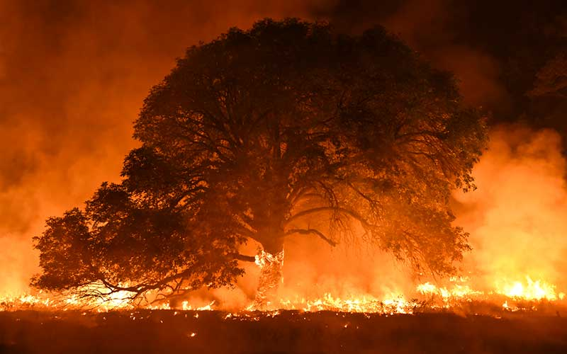 Tree burning in wildfires. Sonoma County.